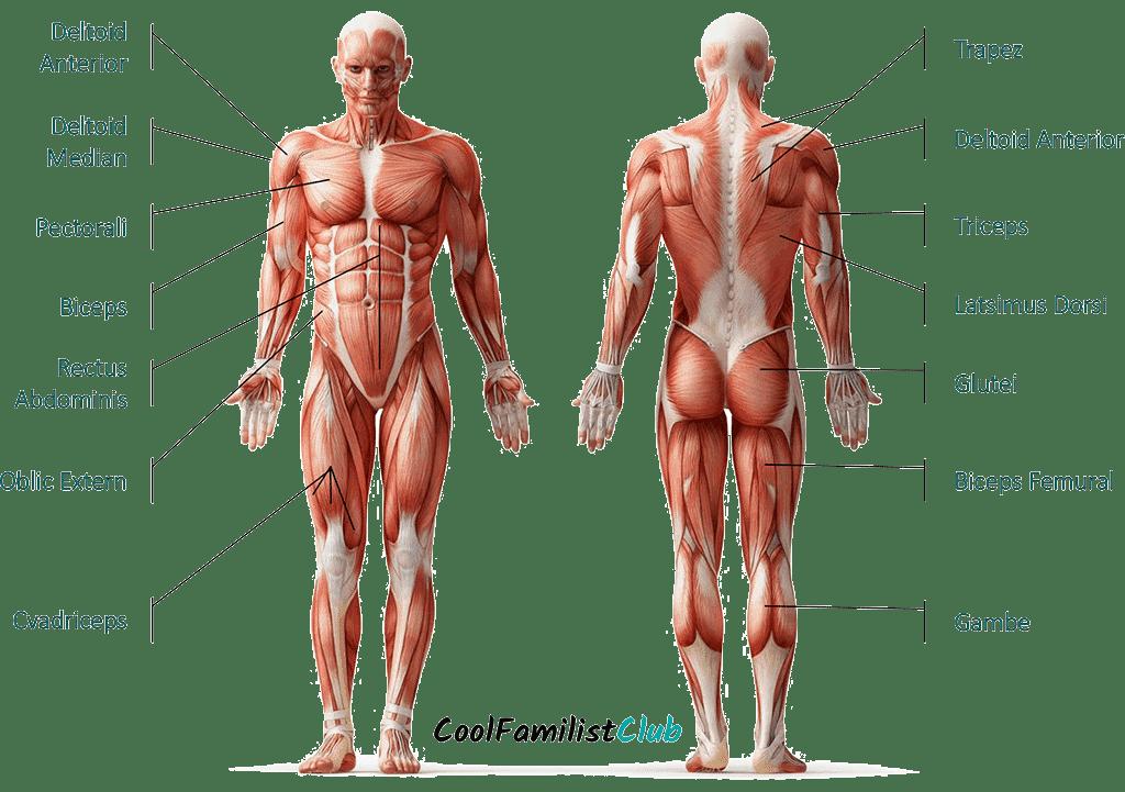 grafic cu principalii muschi ai organismului uman