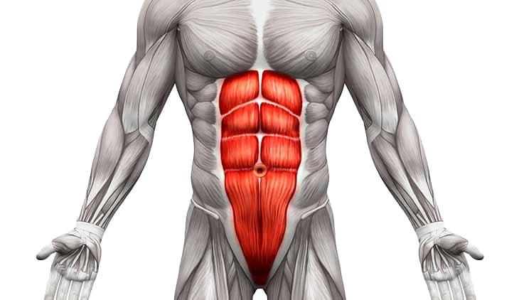 Grafica a corpului uman evidentiind muschiul rectus abdominis